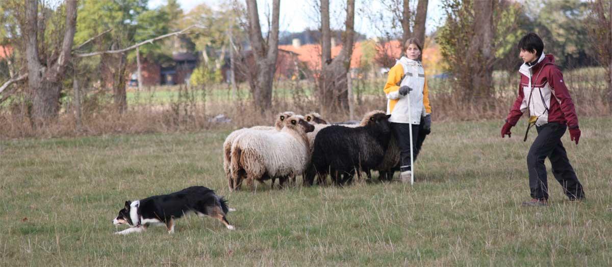 Sookie for første gang ude og hyrde på løse får