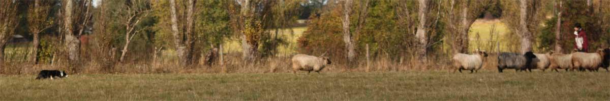 Sookie driver på fårene