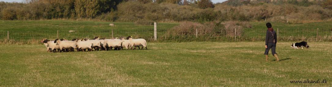 Sookie fradriver en fåreflok