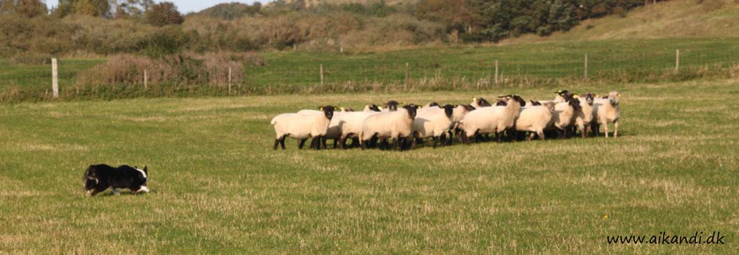 Sookie fradriver fåreflokken