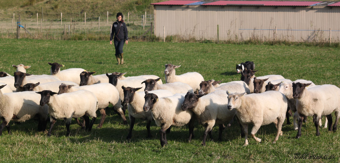 Sookie fradriver fårene