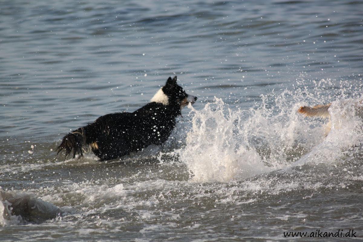 Sookie erfarer, at labrodoren er mere rutineret i at løbe i vand