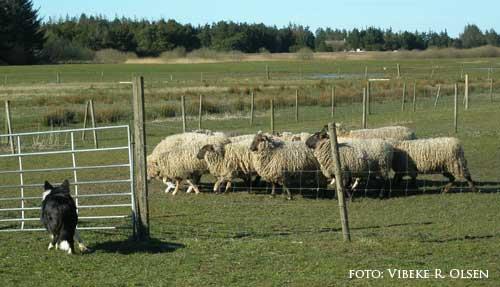 Kopy på får