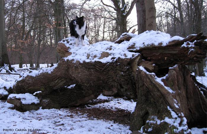 Kopy på toppen af et væltet træ