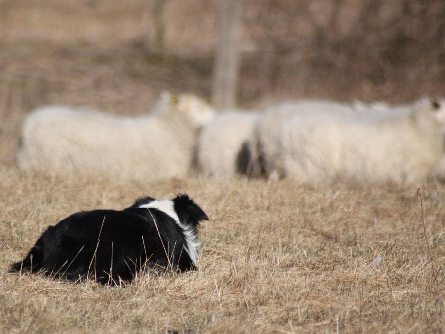 Pippin på får