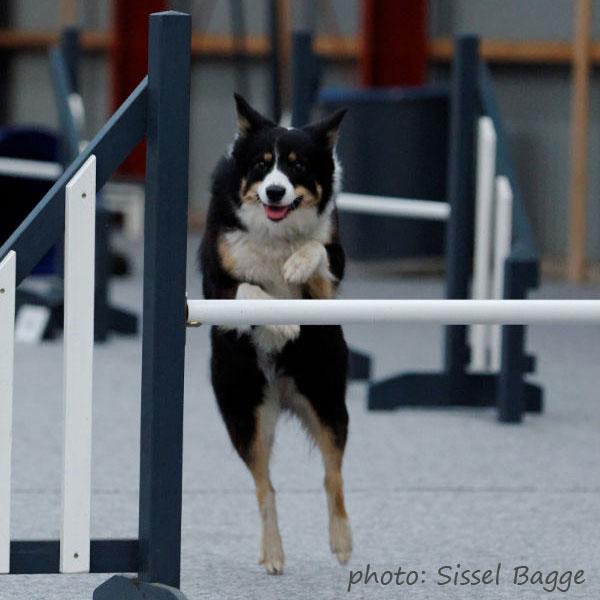 Sookie på vej over et spring - vægtfordelingen er helt korrekt, da hun skal til højre efter springet
